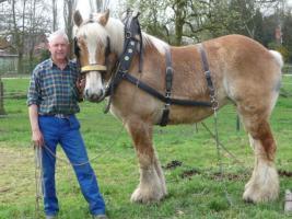 Herman en een van zijn Belgische trekpaarden, een vos