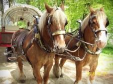 Vossen paarden